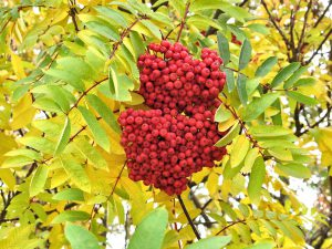 red-berry-tree-718605_960_720